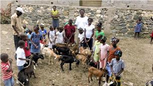 Haiti goats